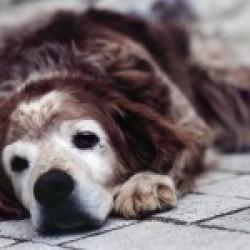 Abordarea pacientilor geriatrici in cadrul practicii veterinare